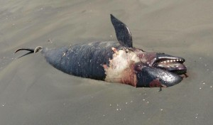 偽虎鯨擱淺死亡 解剖驚「胃中有未消化大魚」