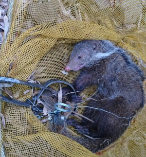 古坑山區有捕獸鋏 保育類食蟹獴受傷