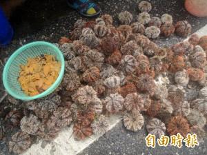 澎湖馬糞海膽採補期延後 且縮短為2個月