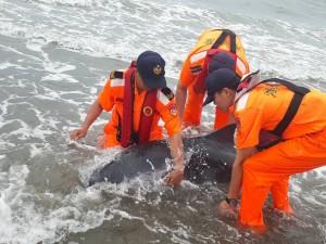 保育類抹香鯨擱淺 海巡接力挖坑潑水救援