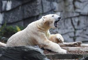 海水溫度若再上升 科學家:北極熊將於本世紀滅絕