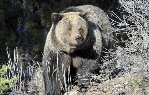 男見黑熊「硬自拍」遭攻擊  下秒黑熊竟被鄉民活活打死...