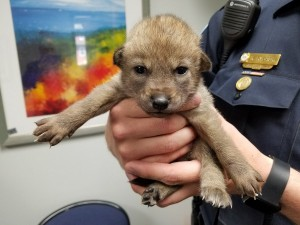 熱心男子拾獲小狗送警局 警員一抱發現牠是狼...