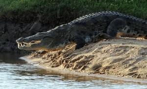大鱷魚趴休旅車下過夜 車主嚇壞急報警