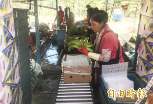 高市府攜手「型農」 高於市價2成收購青蕉