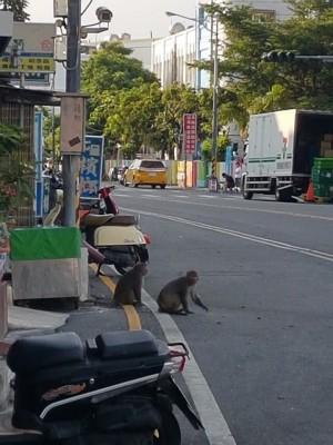墾丁大街沒人?  台灣獼猴來湊熱鬧、逛大街
