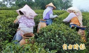 30年來旱災最嚴峻! 竹縣東方美人茶產量恐腰斬
