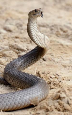 被「世界第二毒蛇」咬一口! 男護士冷靜靠專業保住一命