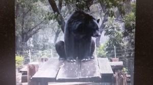 壽山黑熊「波比」雨中SPA萌甩頭 網友建議代言洗髮精