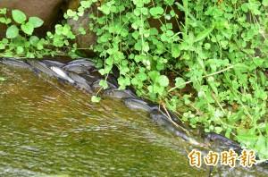 久等了! 龍潭湖鯝魚成群逆流而上 生命力令遊客稱奇