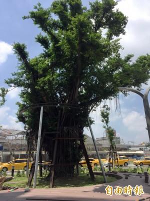 就地保留改善棲地 台中車站舊站廣場前老樹生長良好