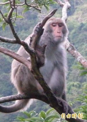 台灣獼猴數量增 決議從保育類除名 保護區內仍禁獵捕