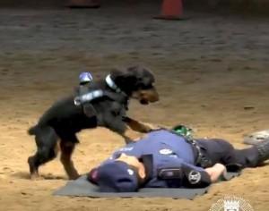 超神影片!西班牙警犬竟會CPR救人...