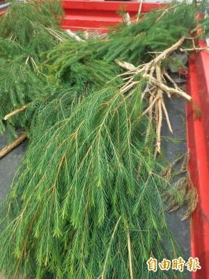 竹東柯湖里推廣澳洲茶樹自製精油 營造社區特色