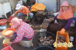 澎湖馬糞海膽開採首日  產量銳減價格飛揚