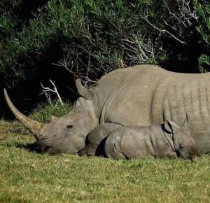 就為了這「一公分」!白犀牛媽媽遭獵殺  小犀牛悲鳴