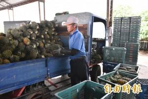 鳳梨價格回升? 農民怒嗆:成本都不夠