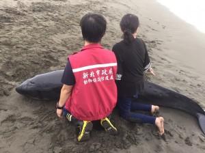 破紀錄!3侏儒抹香鯨擱淺八里 18小時連夜救援