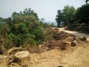 心痛!馬祖南竿拓寬道路 竟砍除上百棵老樹