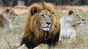 犀牛盜獵者「反被獵」 誤闖獅子地盤至少2人被吃掉