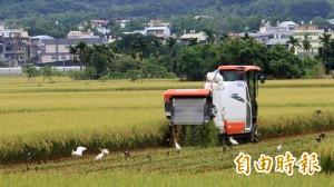 颱風來襲忙搶收 稻農搶不到割稻機急跳腳