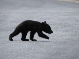 南安瀑布小黑熊馬路趴趴走! 林務局評估緊急安置