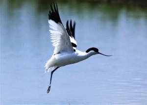 意外拍到單腳反嘴鴴 鳥友:牠生活得好辛苦又勇敢