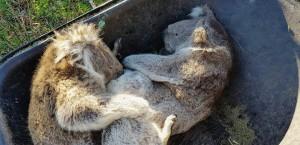 澳洲防森林大火狂砍樹 害無尾熊餓死