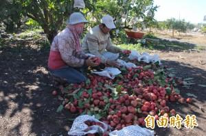首張「蓮霧保單」開賣 南州神農獎果農也來投保
