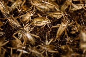 吃蟋蟀好處多多! 美研究:能增好菌、少發炎