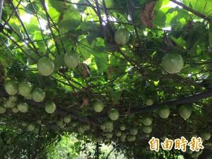 有夠會生! 1棵樹結出上千顆百香果