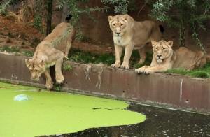 好多可愛大貓咪!「世界獅子日」宣揚護育觀念