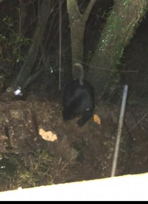 影像曝光!台灣黑熊連續兩晚「光臨」南橫向陽山屋