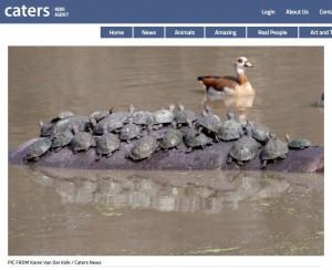 搭乘「大河馬」渡輪! 50隻水龜背上坐好坐滿