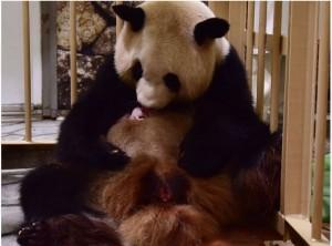 生好生滿!日本25歲熊貓爸爸迎第15子