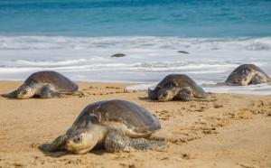 生態悲劇!墨西哥113隻海龜陳屍海岸