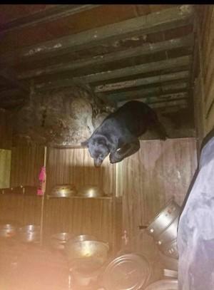 黑熊10天4次入向陽、嘉明湖山屋 台東林管處封山15天