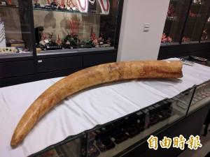 展示象牙遭送辦 嫌稱象牙為古物可免受罰