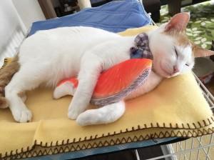 怎麼吃不到? 貓咪狂抓壽司坐墊影片萌翻網友
