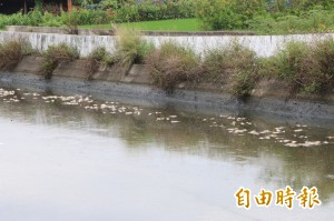 驚悚!大雨過後竹南溝渠漂千隻魚群暴斃翻肚