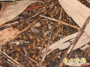 南投「蜂」災再起!又是芬普尼惹禍 蜜蜂大量暴斃