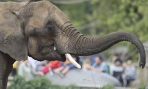為了象牙! 非洲最大規模盜獵近90象喪命