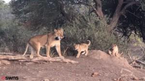攝影師哭哭!7.9萬元單眼相機 被母獅叼去給幼獅當玩具