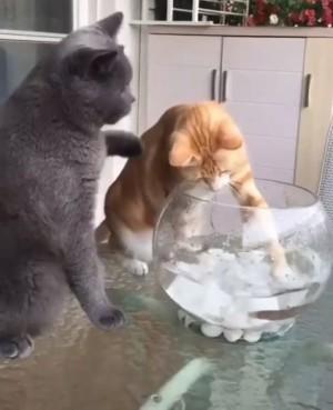 正義又爆笑!灰貓狂巴同伴頭 不准牠欺負小魚