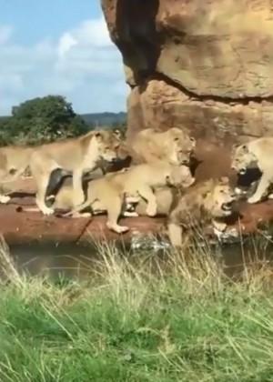 公獅哭哭!搶食物慘遭母獅圍毆