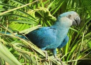 悲!當過動畫電影主角的藍鸚鵡 已證實在野外滅絕