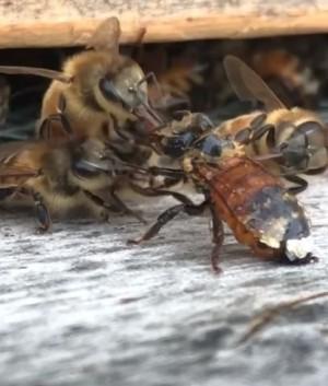 世間處處有溫情!同伴被蜂蜜黏住 4隻蜜蜂圍上來幫脫困