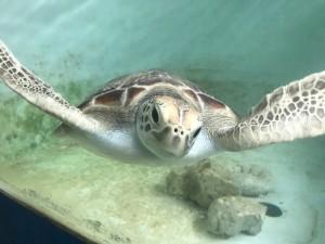 可憐海龜腹痛卡網險喪命 薄片塑膠垃圾惹禍