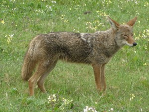 狼來了!睡夢中被吵醒嚇壞「雪納瑞還對牠狂吠」