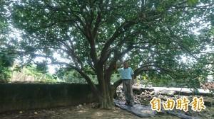 百年麻豆文旦樹竟只剩「1.5棵」 柚農這麼說…